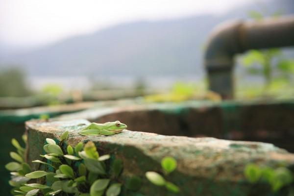 棲息在池南國家森林遊樂區的莫氏樹蛙。(花蓮林管處提供)