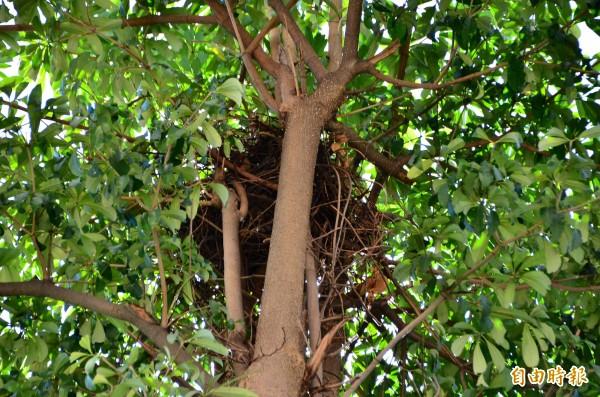 鳳頭蒼鷹已在黑板樹上築巢。(記者吳俊鋒攝)