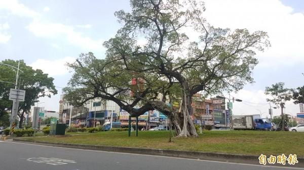 嘉義市忠孝路、博東路口安全島上老榕樹,健康狀況極差,地方盼市府搶救。(記者丁偉杰攝)