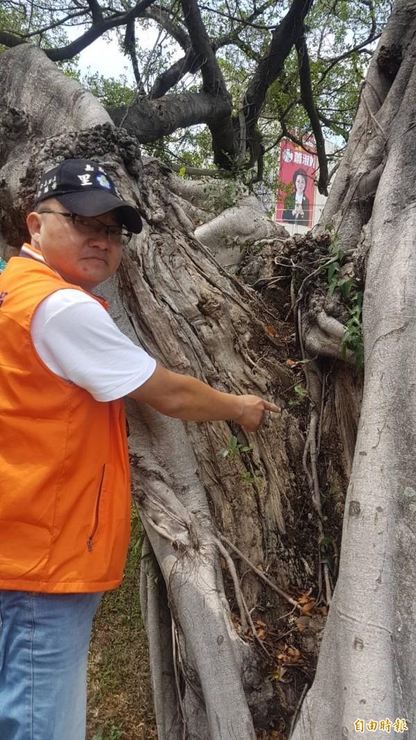 嘉市仁義里長徐國榮說,老榕樹樹幹日漸腐爛,已長不出新葉。(記者丁偉杰攝)