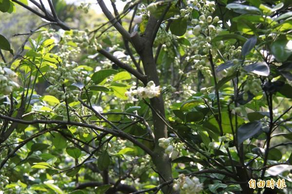基隆七堵山區的柚花開始飄香。(記者林欣漢攝)