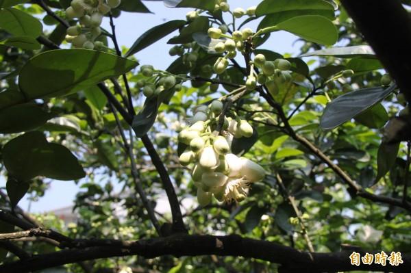 柚花散發淡淡清香,花型也相當可愛。(記者林欣漢攝)