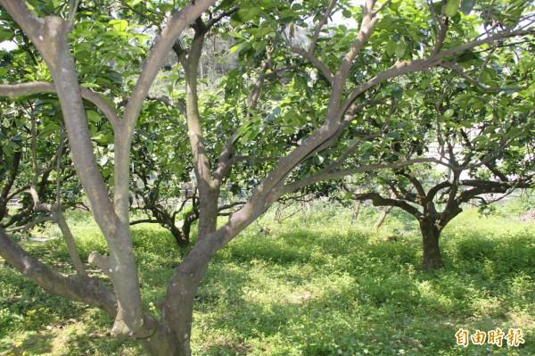 基隆今年共開放262株15年以上的老柚樹讓民眾認養,提供保證收成。(記者林欣漢攝)