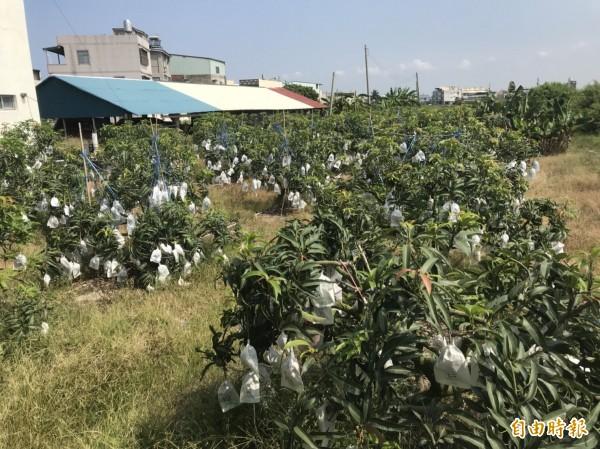 目前枋寮愛文芒果還未進入大量採收期,不少芒果都還在套袋裡。(記者蔡宗憲攝)