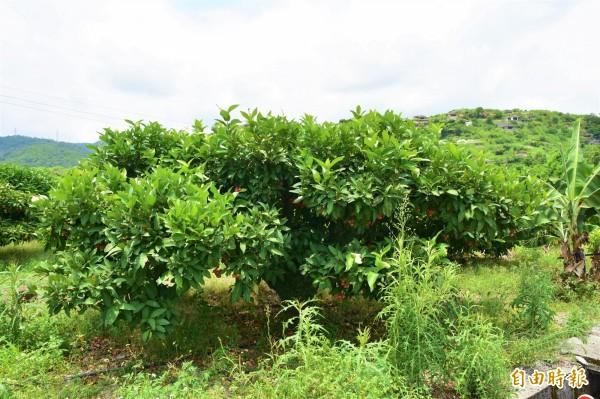 宜蘭縣冬山鄉農民吳坤長,種植約一公頃蓮霧園,但今年卻有七成果樹出現異常,其中四成已完全枯死,損失難以估計。圖為同村內正常蓮霧果樹。(記者張議晨攝)