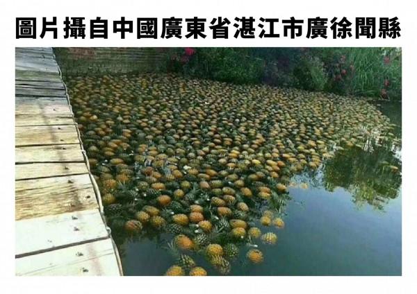 網路謠傳國內鳳梨產銷失調,但鳳梨傾倒在水上的圖片是來自中國廣東省,台灣並沒有這種情況。(圖由農委會提供)