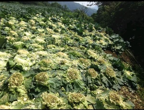 宜蘭縣大同鄉南山村的高麗菜,慘遭獼猴蹂躪,農民損失慘重。(圖擷取自臉書社團「宜蘭知識+」)