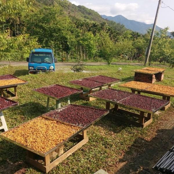 戴豐秋醫師在老家秀林重光部落種咖啡,採收的咖啡豆進行日曬。(戴豐秋提供)