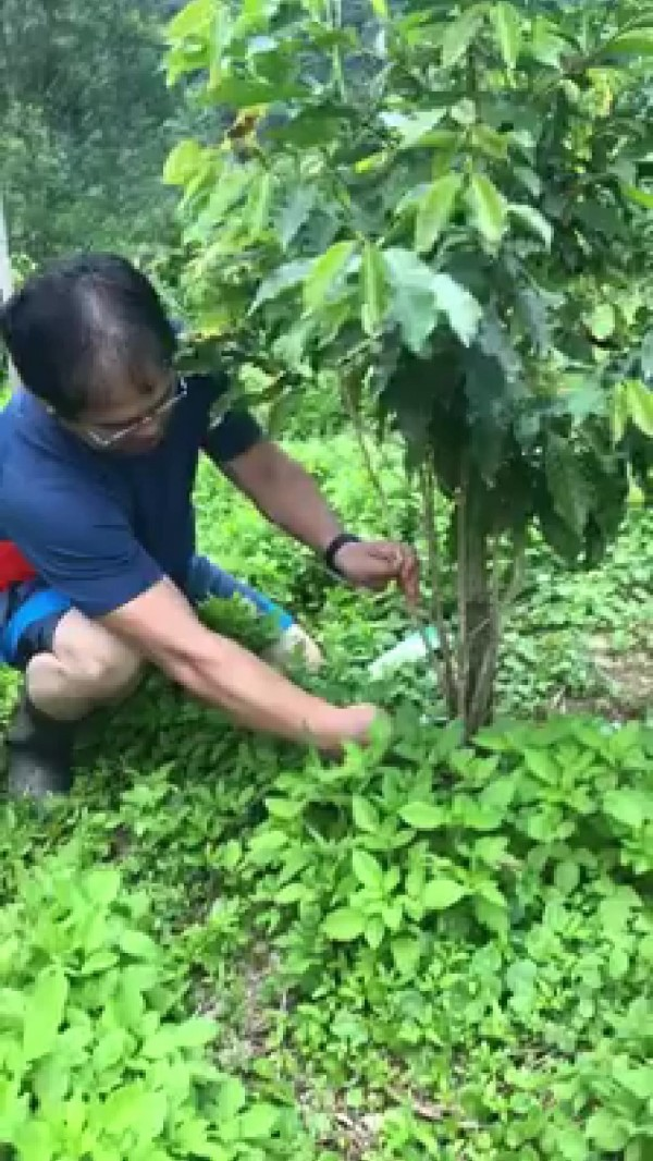 戴豐秋醫師希望建立部落「我們的咖啡」,先從自己種咖啡學起,包括栽培管理等,經過八年努力種出金牌咖啡。(戴豐秋提供)