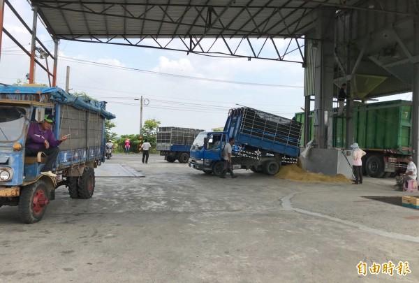 民營糧商收購稻穀集運異常忙碌。(記者楊金城攝)
