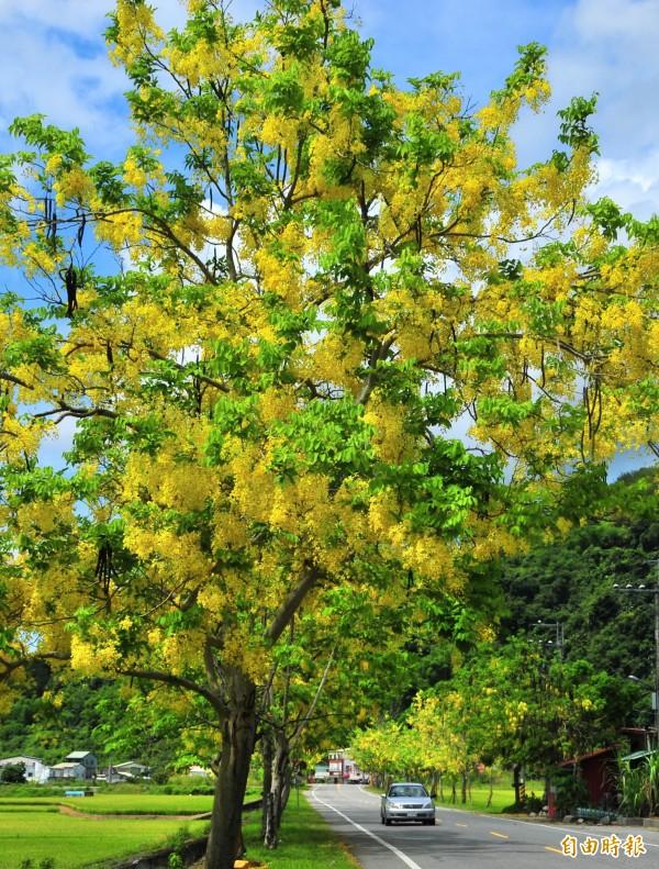 一九三縣道東豐的阿勃勒開得滿出來,一樹的金黃花朵閃耀迷人。(記者花孟璟攝)
