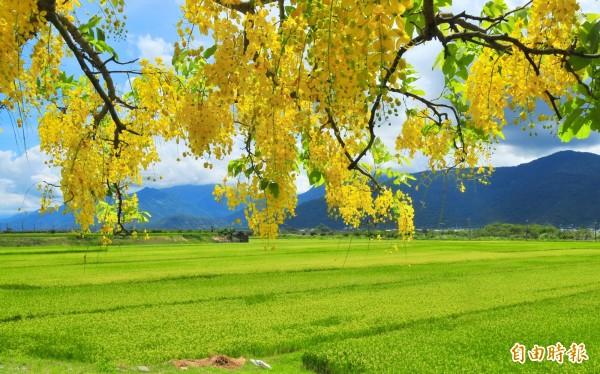 金黃的阿勃勒花、黃金稻浪,構成花東縱谷豐收的意象。(記者花孟璟攝)