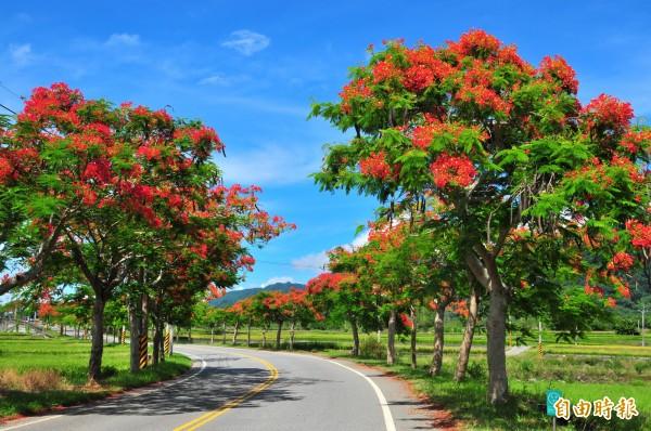一九三縣道松浦以北的鳳凰花,豔麗的大紅色和蔚藍天、道路兩邊的梯田,處處都是美景。(記者花孟璟攝)