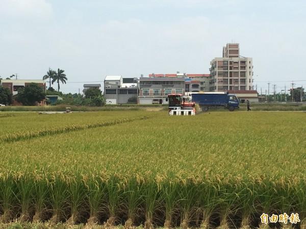 雲林縣一期稻作開始收成,縣府呼籲農民不要搶收,以免影響收成。(記者林國賢攝)