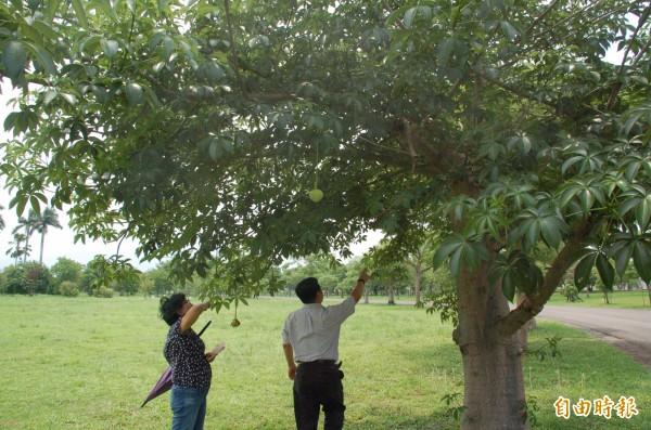 非洲猢猻樹在高雄區農業改良場茁壯生長。(記者李立法攝)