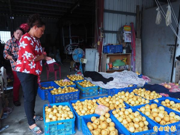 劉金妹因無冷藏設備,剛採收的高接梨只能擺在庭院裡,要趁著新鮮,快點賣出去。(記者王秀亭攝)