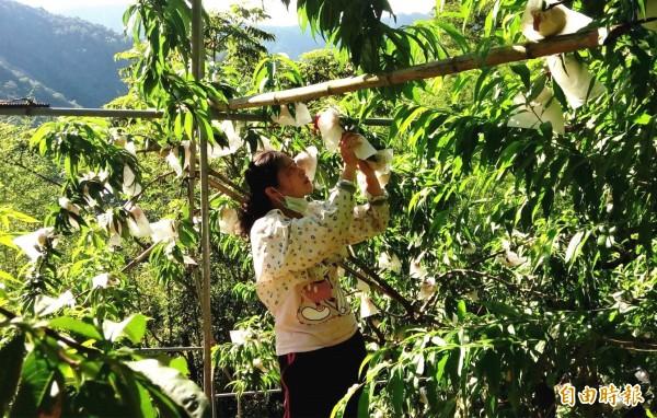 大雨要來了,復興區拉拉山果農搶收早生水蜜桃,以防落果損失。(記者李容萍攝)