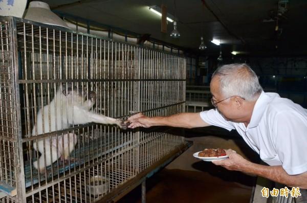 園方餵食老猴們吃眼鏡蛇茶葉蛋。(記者吳俊鋒攝)