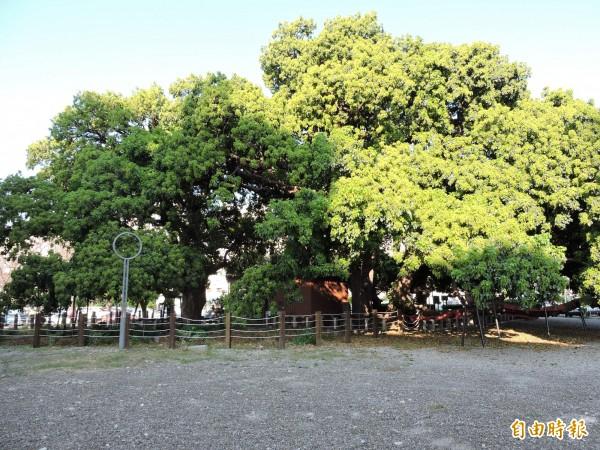 千年節苳樹王被譽為「台中之寶」。(記者張菁雅攝)