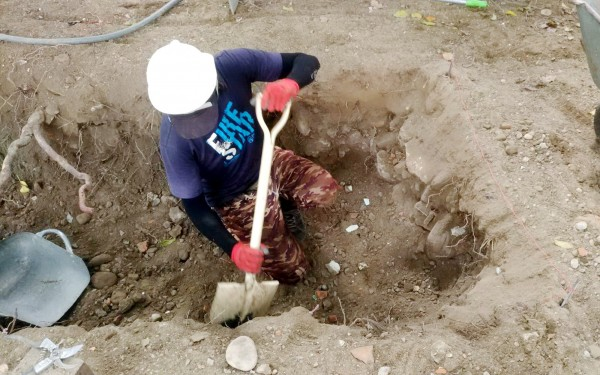 茄苳樹王根系底下埋有混凝土廢棄物,將採噴氣工法及人工搬運方式清除。(圖由建設局提供)