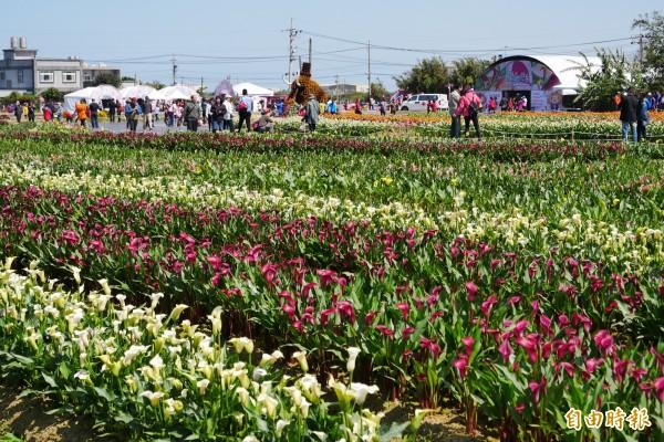 每年彩色海芋季吸引眾多人潮,桃園市府計畫拓寬聯外道路。(記者謝武雄攝)