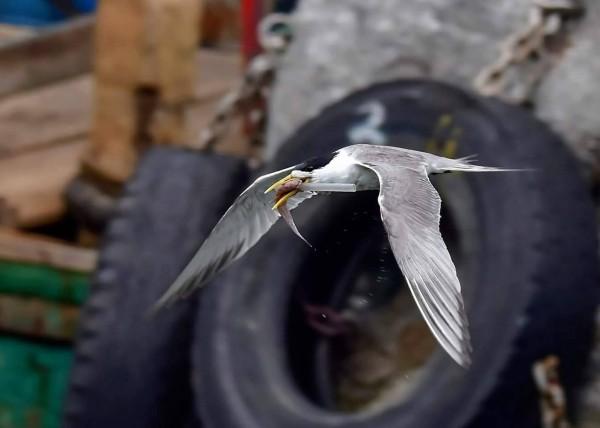 卡管的鳳頭燕鷗叼著小魚,一根吸管卡在嘴喙。(圖由拍鳥俱樂部吳姓鳥友提供)