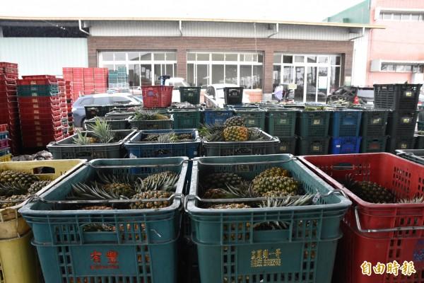 鳳梨價跌、市場拍賣量縮,古坑各集貨場內仍堆置許多鳳梨沒出貨。(記者黃淑莉攝)
