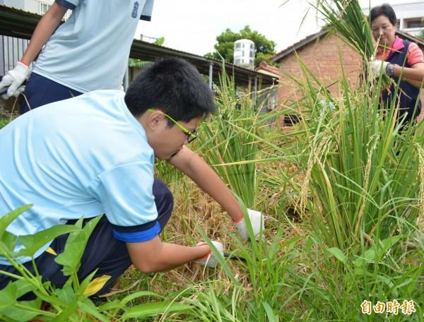 花壇國中學生親手種下的秧苗成熟了,今天親自下田割稻,嘗到收穫的喜悅。(記者湯世名攝)