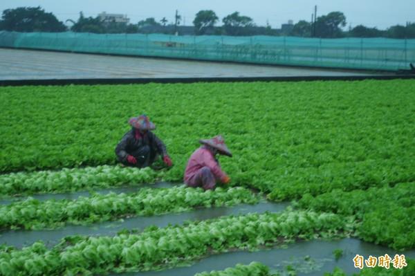 日前大雨,造成二崙等地區蔬菜水傷受損,價格上揚。(資料照)