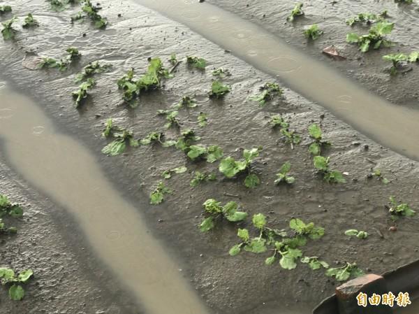 高市連日豪雨,造成農損238萬元。(記者陳文嬋攝)