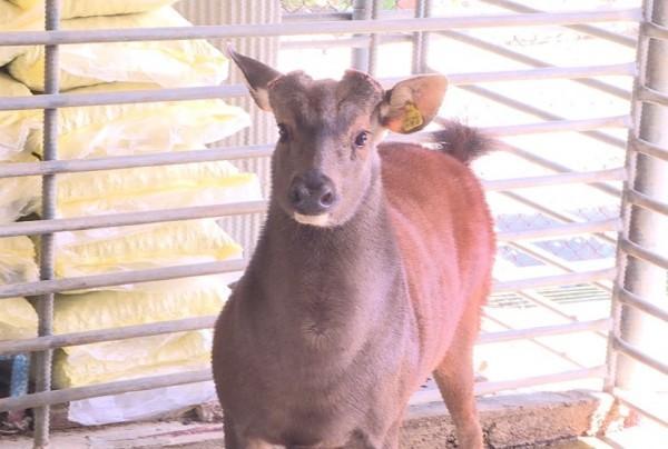 飼養的水鹿會有耳標。(記者劉曉欣翻攝)