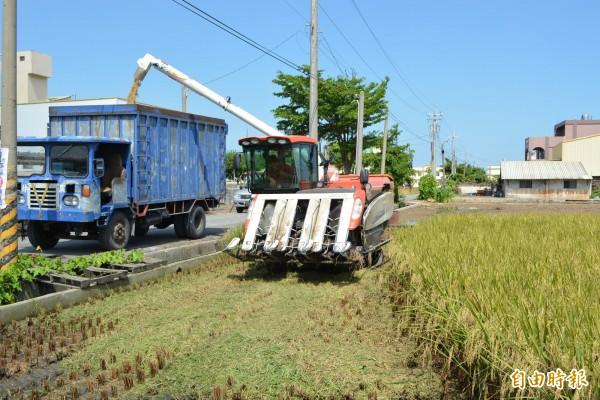 適逢一期作收割,卻遇到強颱瑪莉亞攪局,彰化縣稻農忙搶收,代割業者忙得不可開交。(記者湯世名攝)
