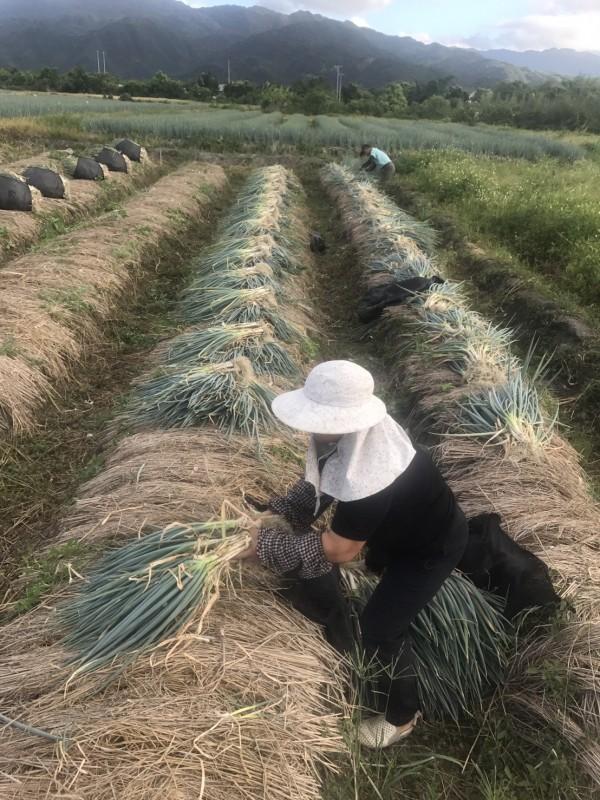 三星蔥農一大早便下田採蔥。(記者江志雄翻攝)