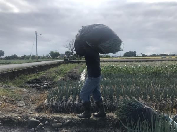 蔥農採收後扛蔥回家。(記者江志雄翻攝)