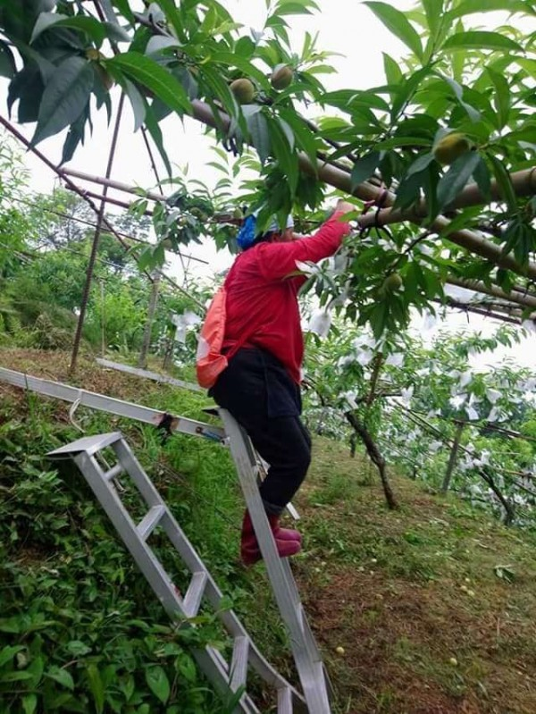 新竹縣尖石鄉果農趕在強颱瑪莉亞來襲前搶收水蜜桃。(賴明惠提供)