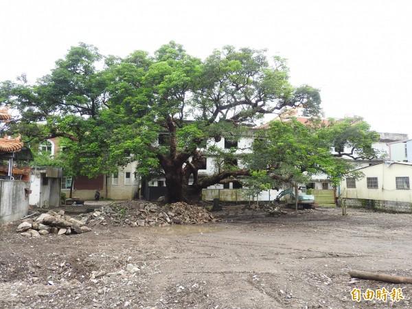 最近地主同意興南宮管理委員會進行茄苳神木棲地改善,未來開放民眾免費參觀。(記者佟振國攝)