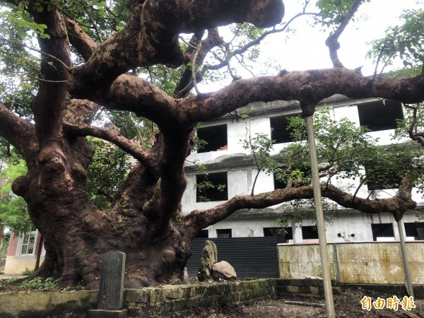 茄苳神木的樹形優美,主幹粗壯,9人才能合抱。(記者佟振國攝)
