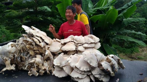 和平區居民吳進貴採摘巨大的菇,農委會農業試驗所菇類博士呂昀陞表示,該菇應是「金福菇」。(吳進貴提供)
