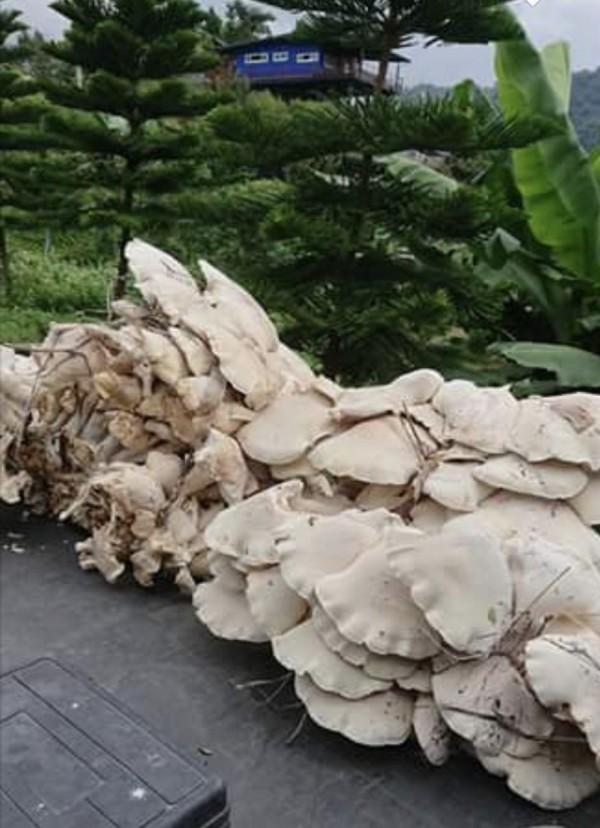 巨大的「金福菇」。(吳進貴提供)