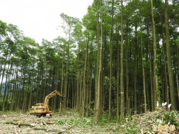 埔里鎮水頭里有「黑森林」之稱的大片黑板樹林,最近大量砍除,網友感嘆埔里又一處秘境消失。(記者佟振國攝)