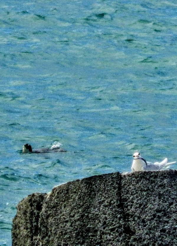 保育類蒼燕鷗到墾丁繁殖下一代,罕見與綠蠵龜同框。(記者蔡宗憲翻攝)