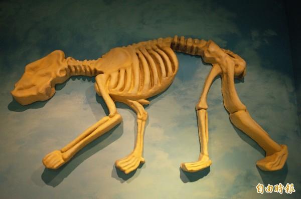 玉管處南安遊客中心展出的黑熊骨骼模型,被批評毫無解剖學概念,粗製濫造。(記者花孟璟攝)