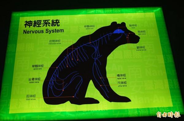 玉管處南安遊客中心展出的「黑熊神經系統」圖片,簡單到令人懷疑「這是低等生物嗎」?(記者花孟璟攝)