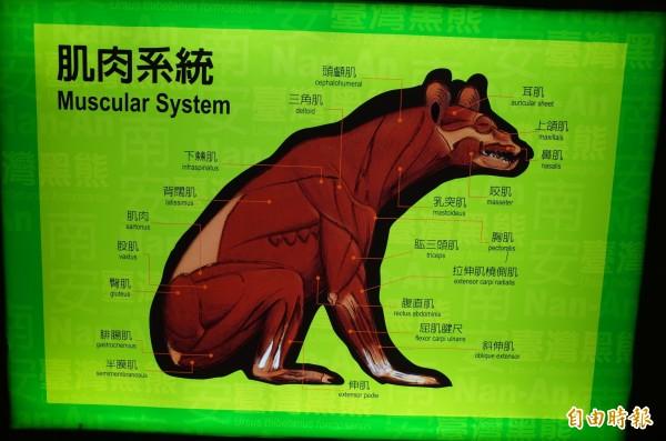 玉管處南安遊客中心展出的臺灣黑熊「肌肉系統」介紹圖,臀肌、股肌上方居然有一塊叫做「肌肉」,前腿有一處「拉伸肌橈側肌」,也被笑「有這塊肌肉嗎」?(記者花孟璟攝)