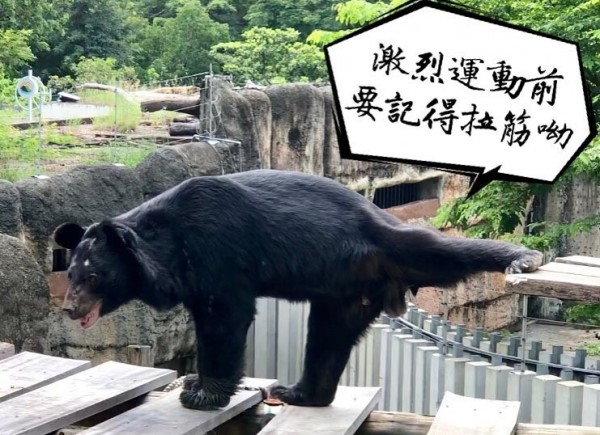 壽山動物園台灣黑熊平平展現拉筋技巧。(記者王榮祥翻攝)