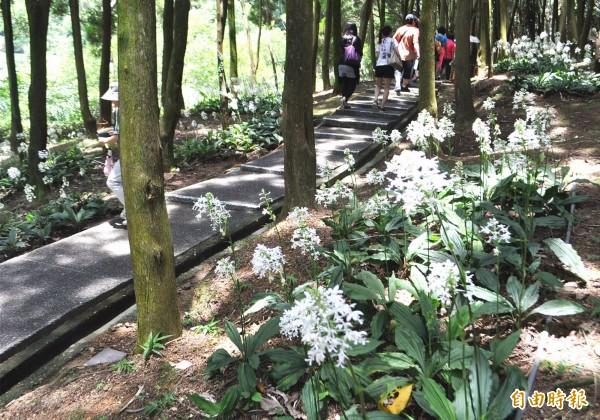 後慈湖湖濱步道坡地的白鶴蘭。(記者李容萍攝)
