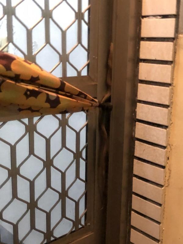 門縫裡有蛇!簡木通用雨傘壓制小蛇。(簡木通提供)