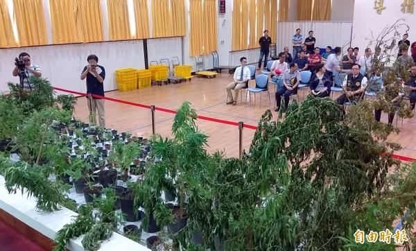 南投地檢署破獲大麻案記者會的會場,擺滿大大小小的大麻活株情形。(記者謝介裕攝)