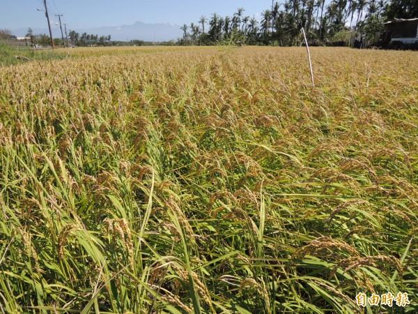 水稻保險享有補助,可減輕農友負擔。(記者李立法攝)