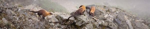 保育類動物黃喉貂在玉山北峰嬉戲情景。(記者謝介裕翻攝)